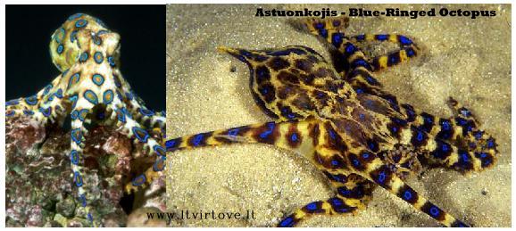 Blue-Ringed Octopus - Mėlynasis jūrinis aštunkojis