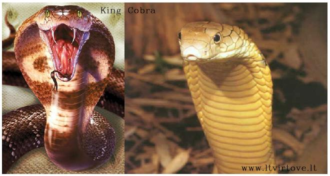 King Cobra - Ophiophagus Hannah