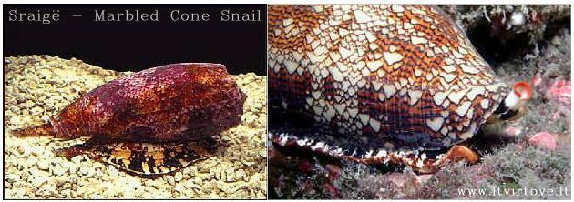 Marbled Cone Snail - Marmūrinė kūginė sraigė